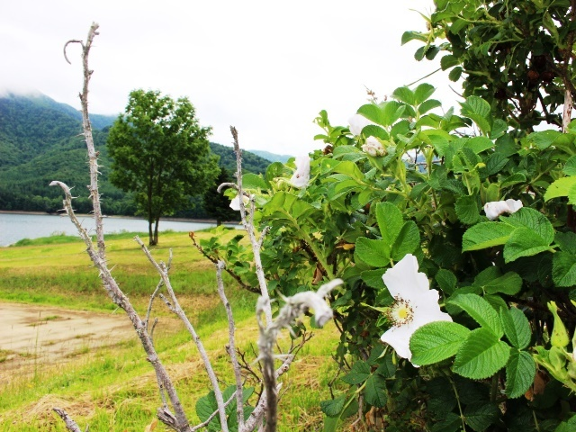 湖畔の花1