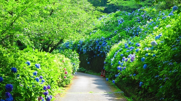 IMG_7081紫陽花園