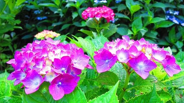 IMG_7090紫陽花園