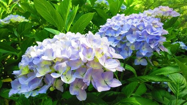 IMG_7075紫陽花園