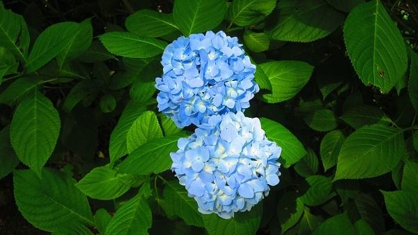 IMG_7082紫陽花園