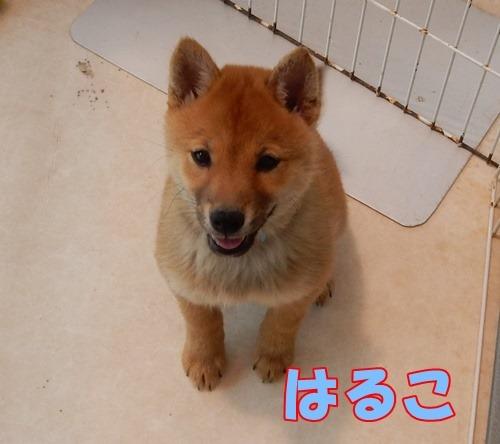 福岡県動物愛護センター:はるはるシスター003