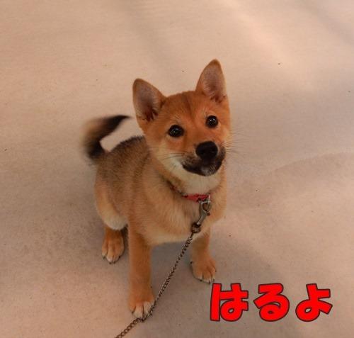 福岡県動物愛護センター:はるはるシスター004