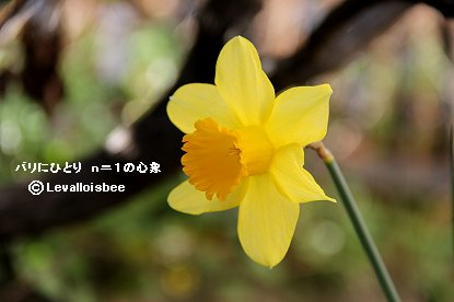 黄色い水仙downsize