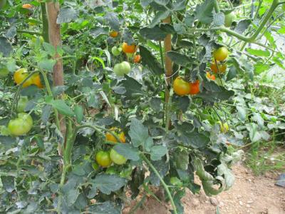 010705ハウスのトマト2