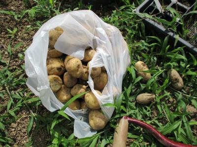 010705収穫したジャガイモ