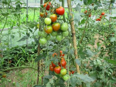 010713ハウスのトマト1