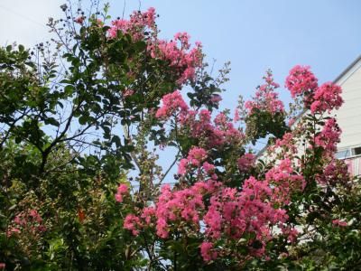 010803百日紅の花