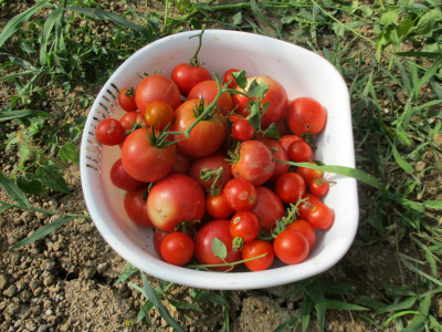 010810収穫したトマト1
