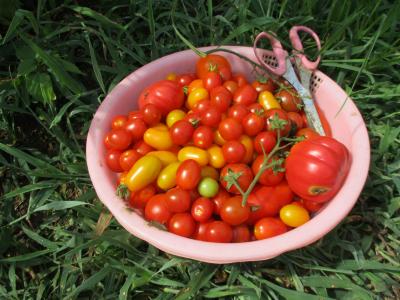 010810収穫したトマト2