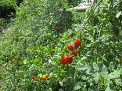 010817トマトはまだまだ採れてます