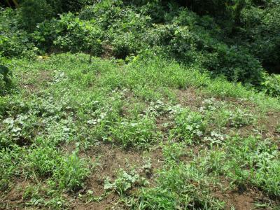 010824耕運前の草刈り2