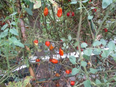 010830雨でやられたトマト