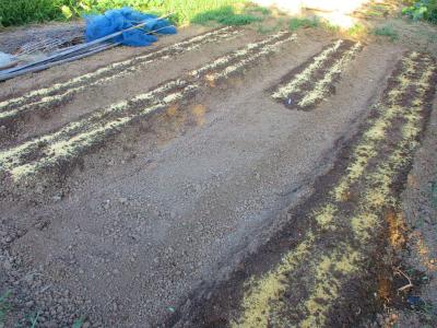 010913大根とかぶの種蒔き