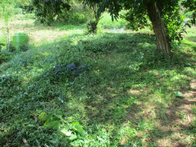 010916栗の木の下の草刈り