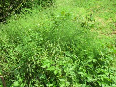 010920アスパラは草だらけ