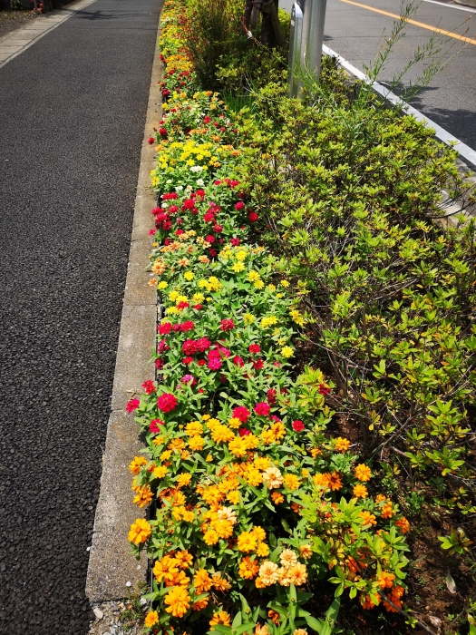 タンポポお花