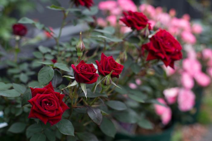 rose20190626-3890.jpg