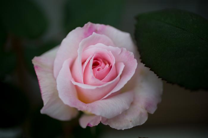 rose20190626-3955.jpg