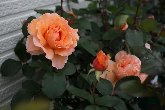 rose20190628-3959.jpg