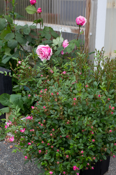 rose20190629-3976.jpg