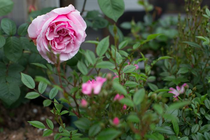 rose20190629-3978.jpg