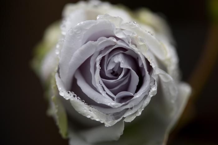 rose20190704-1-15.jpg