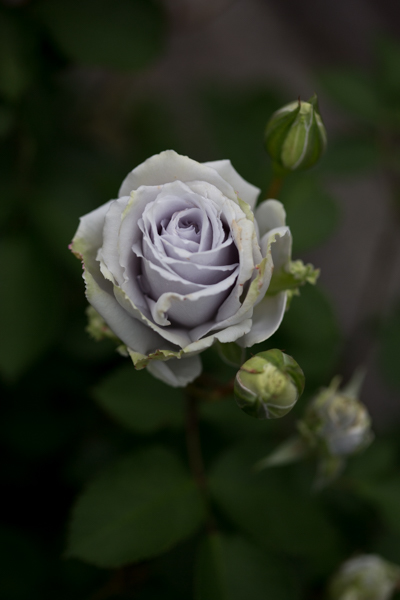 rose20190704-1-2.jpg
