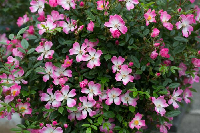 rose20190704-1-5.jpg