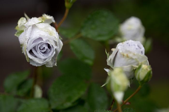 rose20190704-1-9.jpg