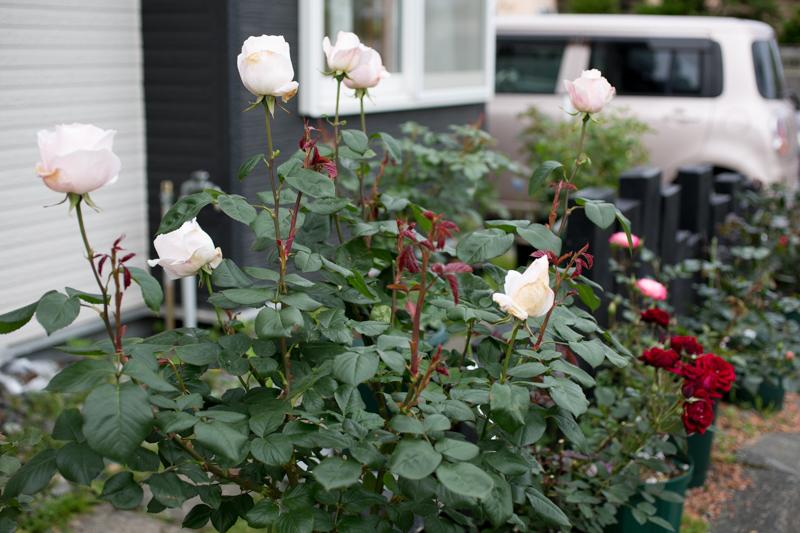 rose20190707-1-2.jpg