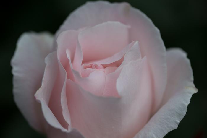 rose20190707-1-8.jpg