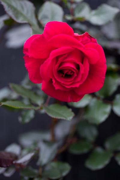 rose20190713-4260-2.jpg