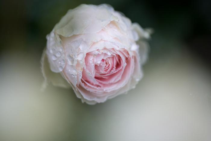 rose20190714-4273.jpg