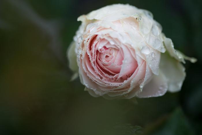 rose20190714-4278.jpg
