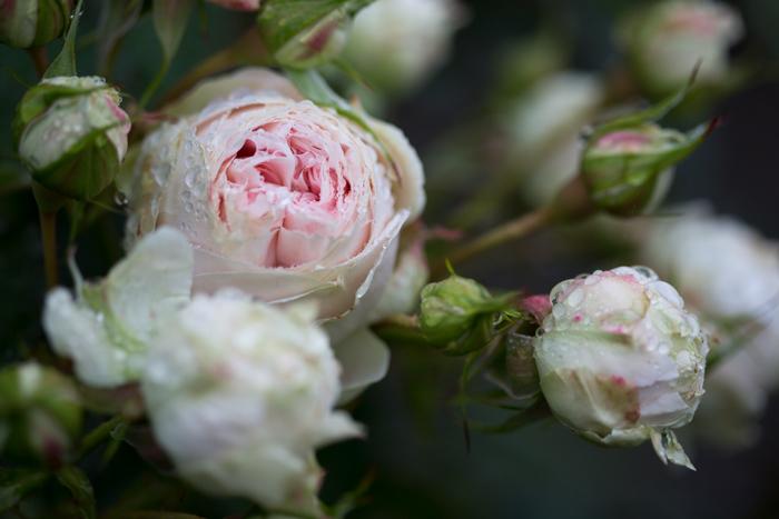 rose20190714-4282.jpg