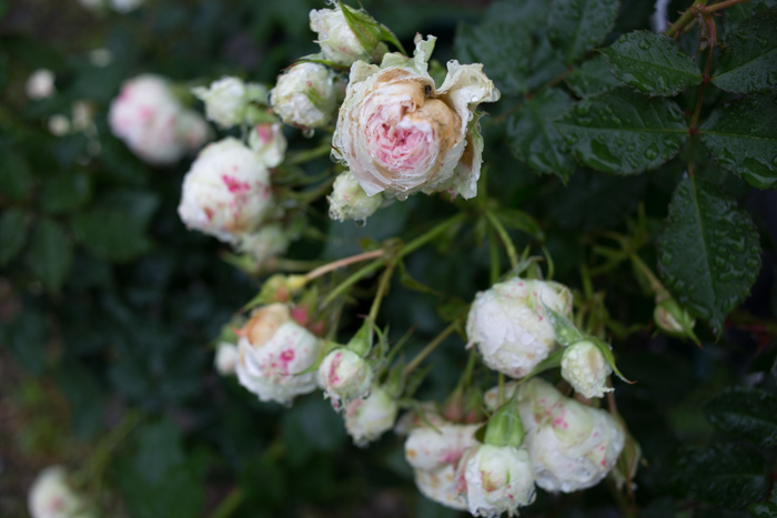 rose20190721-4292.jpg