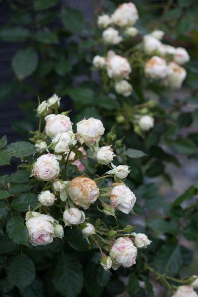 rose20190721-4308.jpg