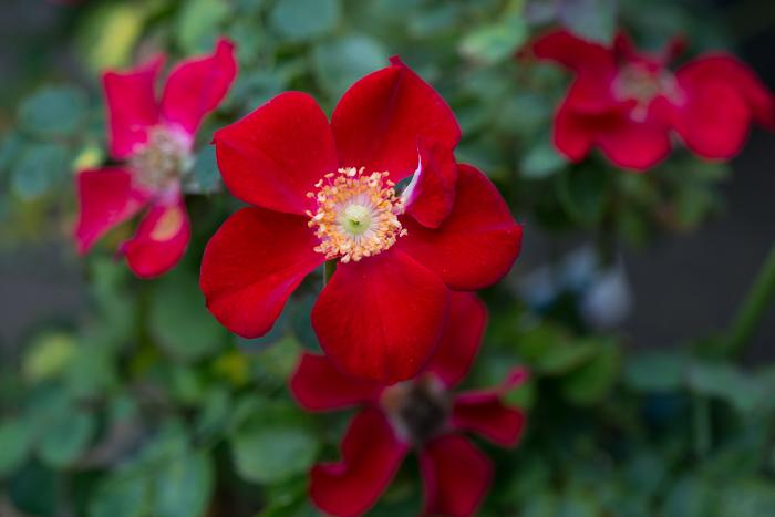 rose20190728-4345.jpg