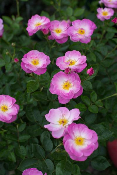 rose20190731-4655.jpg