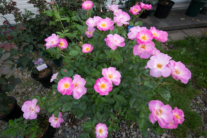 rose20190801-4686.jpg