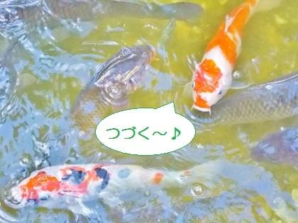 つづく シーパラの鯉さん