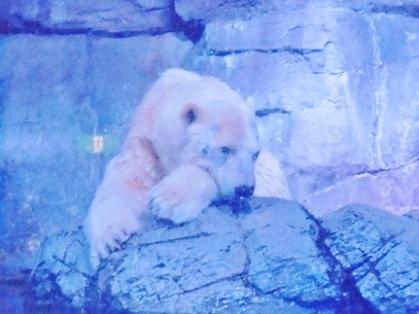 白クマさん 一休み