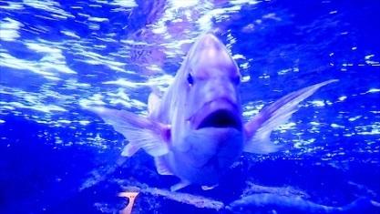 人懐っこい鯛さん