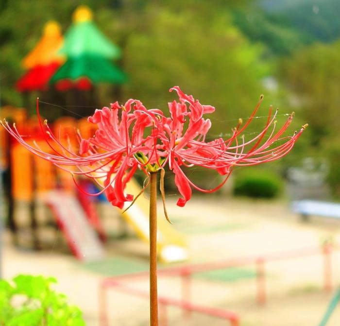DSC01937 (1) 公園と彼岸花