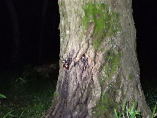 カブトムシの捕れる場所 (25)