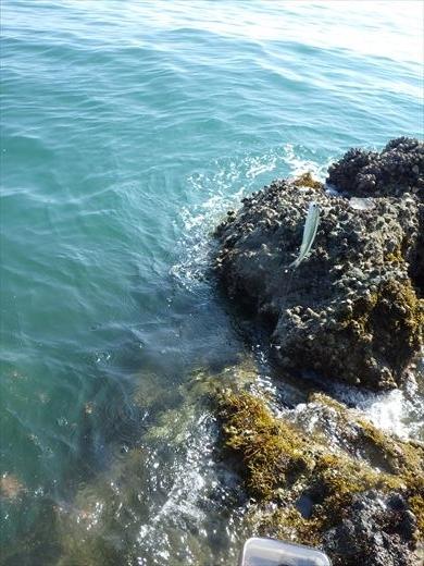 三浦半島釣り (21)