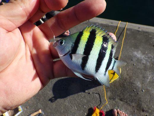 沖縄で釣って食べる! (16)