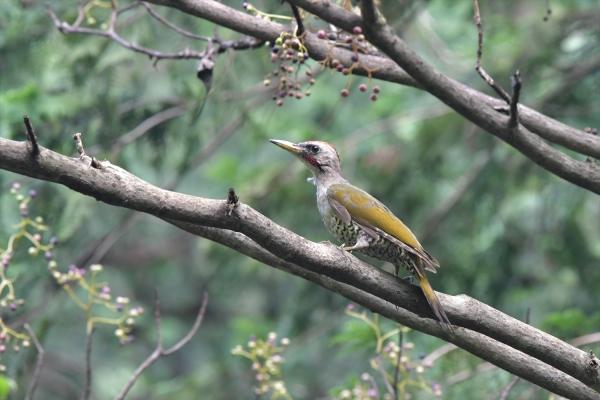 アオゲラ幼鳥20190829-4