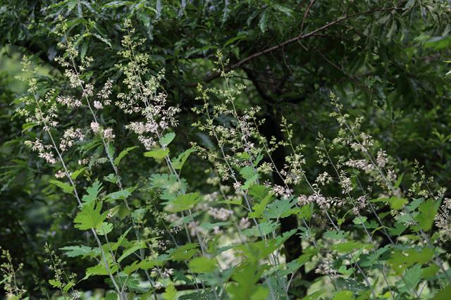 タケニグサ(竹似草、竹煮草)